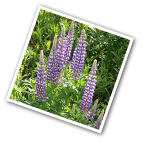Lupine Gallery Blue
