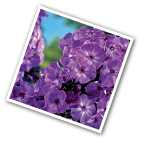 Phlox Pixie Miracle Grace