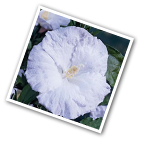 Hibiscus Blue River