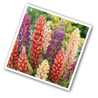 Russell Lupine Seed Mix