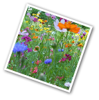 Golf Course Quick Color Wildflower Seed Mix