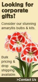 Looking for Corporate Gifts? Consider our Amaryllis Bulbs & Kits