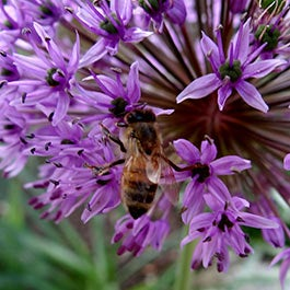 bee friendly flower bulbs