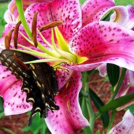 Attract Butterflies with Flower Bulbs