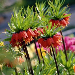 Deer Resistant Flower Bulbs
