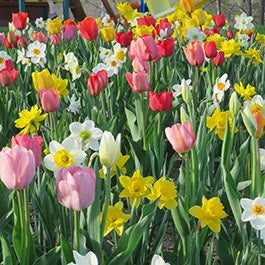 Most Popular Flower Bulbs