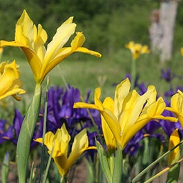 Iris Flower Bulbs