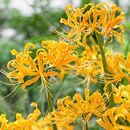 Spider Lily Flower Bulbs