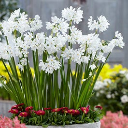 Paperwhite Flower Bulbs