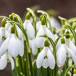 Snowdrops Flower Bulbs