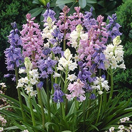 Wood Hyacinth Flower Bulbs