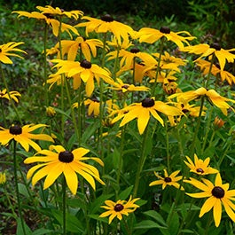 Black Eyed Susan Seeds