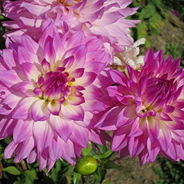 Spring planted summer blooming bulbs american meadows dahlia flower bulbs mightylinksfo