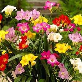Spring-Planted, Summer-Blooming Bulbs | American Meadows