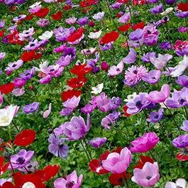 Spring Planted Summer Blooming Bulbs American Meadows