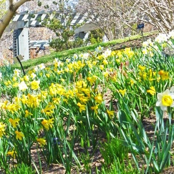 All About Naturalizing Daffodils American Meadows