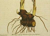 Botanical Description Bloodroot