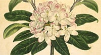 Botanical Drawing Rhododendron