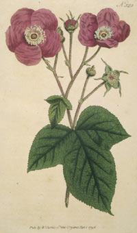 Purple Flowering Raspberry