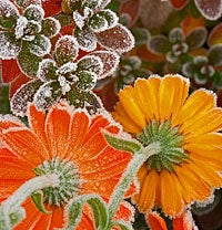 Wildflowers with Frost