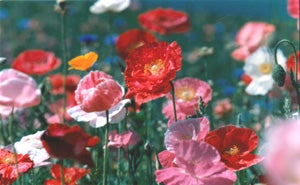 Poppy Wildflowers