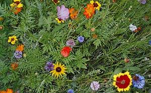 Wild Annuals