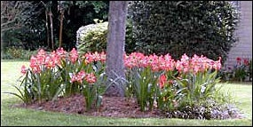 Outdoor Amaryllis