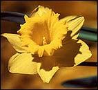 Daffodils Dutch Master