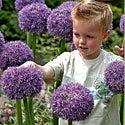 Allium Gladiator
