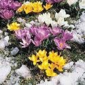Snow Crocus Mix