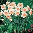 Daffodil Pink Ribbon