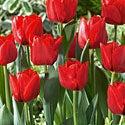 Tulip Ben van Zanten