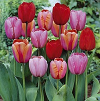 Tulips Plant to Impress Mix