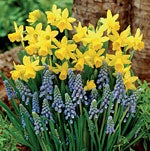 Daffodil & Grape Hyacinth Mix - Tall bulbs in back - short in front