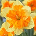 Daffodil Mountain Dragon