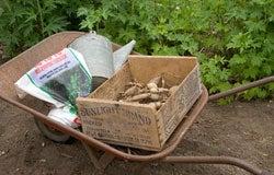 Dahlia Planting Instructions 1