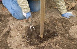 Dahlia Planting Instructions 2