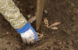 Dahlia Planting Instructions 3