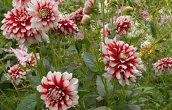 Dahlias in Full Bloom