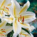Golden Rayed Lily of Japan