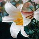Regal Lily