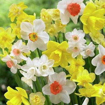 Daffodil Mix