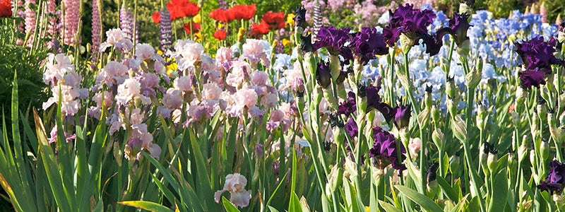 all about irises, Beautiful flower