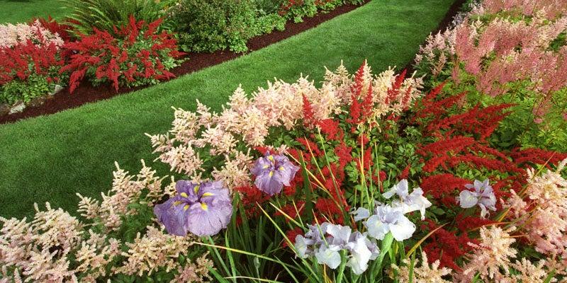 Irises in Garden