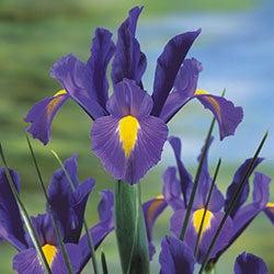 Dutch Iris Sapphire Beauty