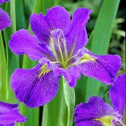 Pictures of purple irises