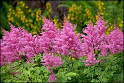 Pink Astilbes in Bloom