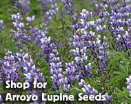 Shop for Lupine succulentus - Arroyo Lupine