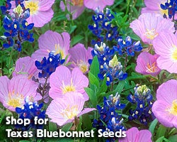 Shop for Texas Bluebonnet Seeds