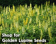 Shop for Lupine densiflorus - Yellow or Golden Lupine